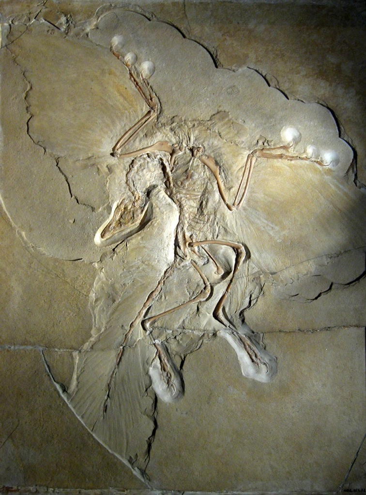 Archaeopteryx_lithographica_Museum_fuer_Naturkunde_Berlin